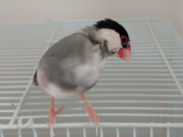換羽 期 文鳥